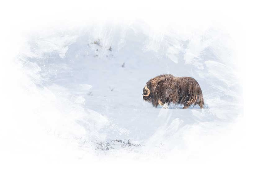 Photo-Tour to Norway - Special Musk Ox