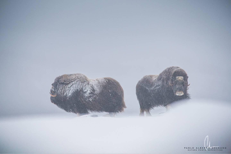 Fotografía de Naturaleza. Viaje fotográfico Noruega Musk Ox. Pablo Alberto Delgado