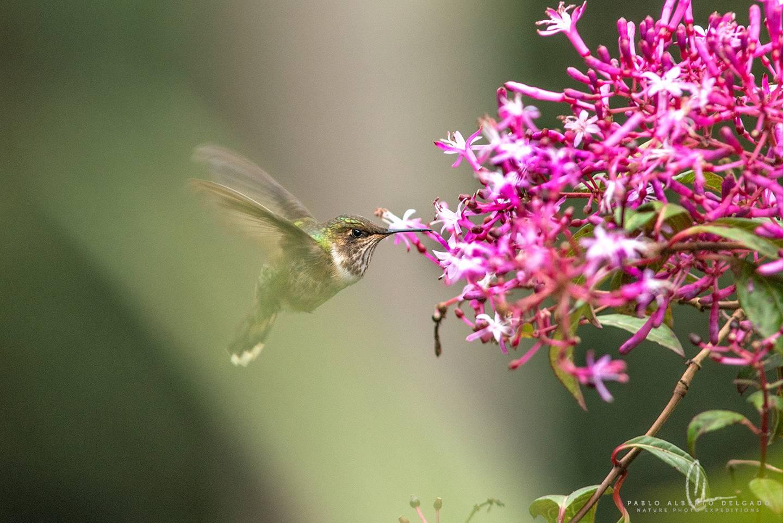 Fotografía de Colibrí en Costa Rica
