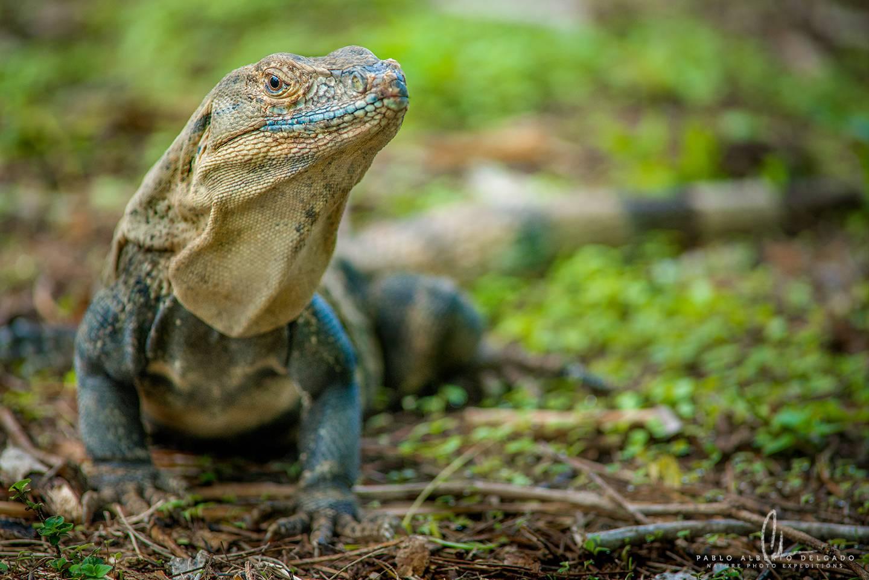 Iguana de Costa Rica