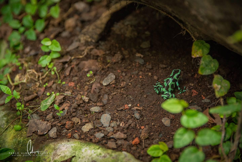 Rana dardo de Costa Rica