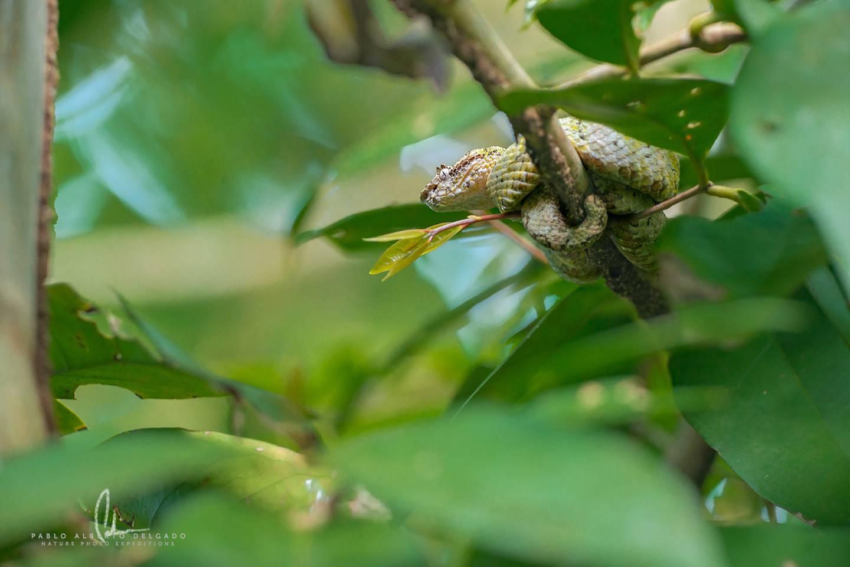Víbora de pestañas Costa Rica