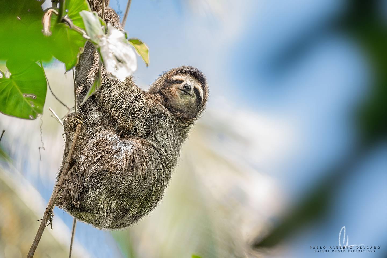 Fotografía de perezoso en Costa Rica