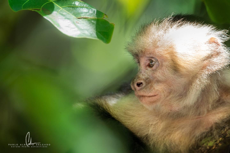 Mono carablanca en Costa Rica