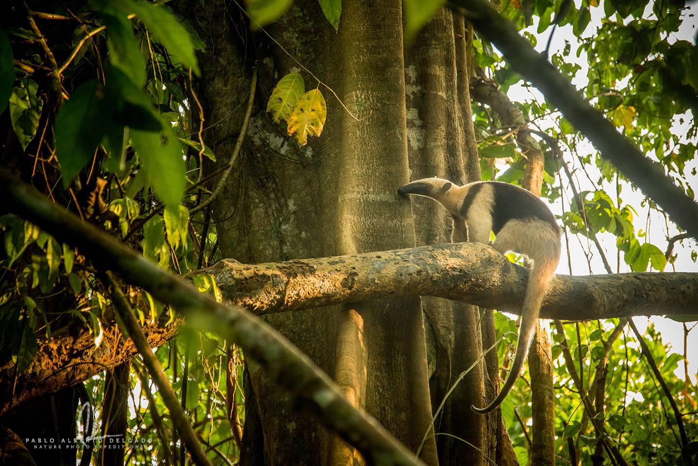 Oso hormiguero de Costa Rica
