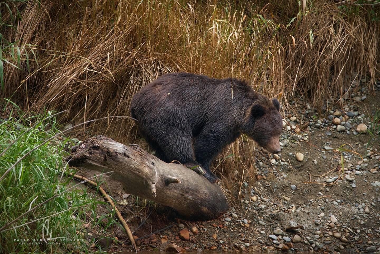 Fotografía de un oso Grizzly en Canadá