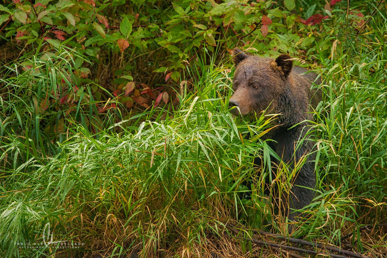 Fotografía osa grizzly en Canadá