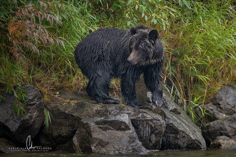 fotografía de macho de oso grizzly