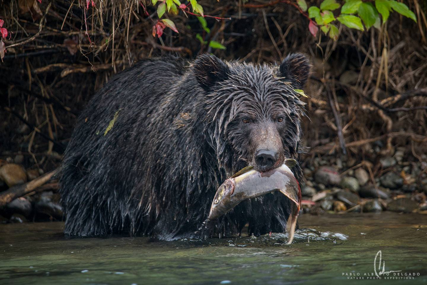 Canada Grizzly Photo tour. Grizzly male fishing