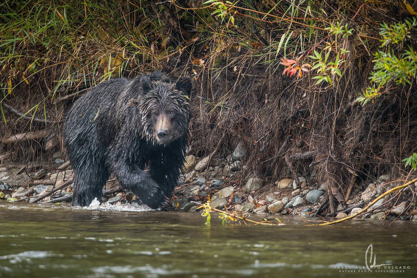 Grizzly bears photo tour