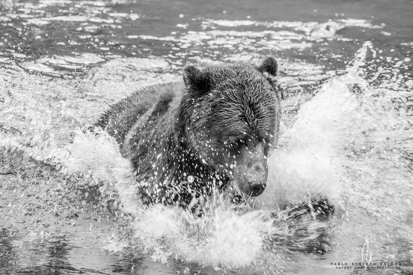 Grizzly bear fishing picture