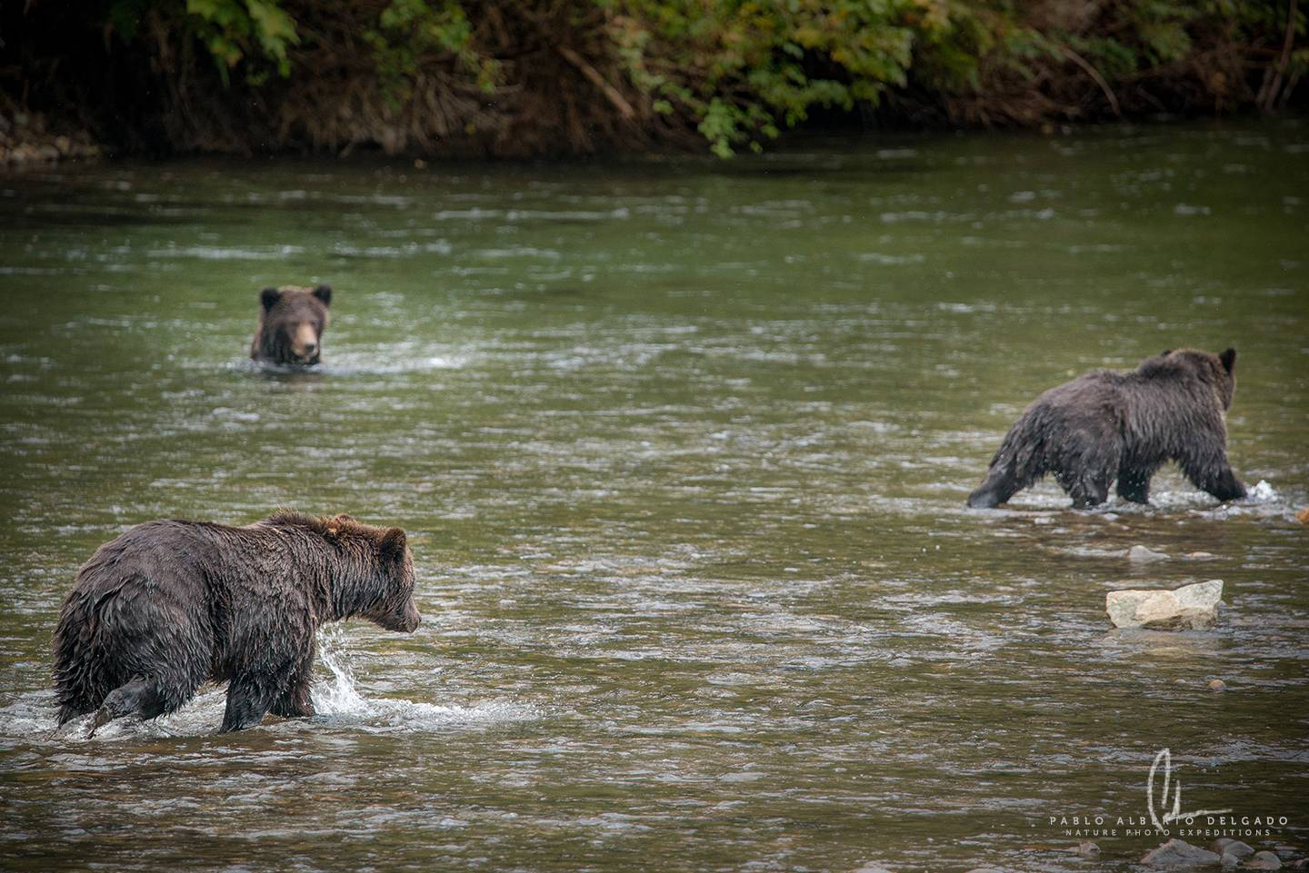 Grizzly familly in Canada river